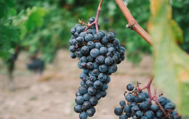 Un racimo de uvas de la variedad tinta en una plantación de vino