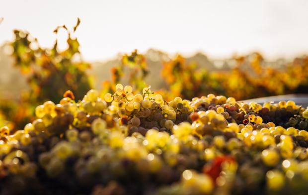 Uvas recogidas en una plantación de vino