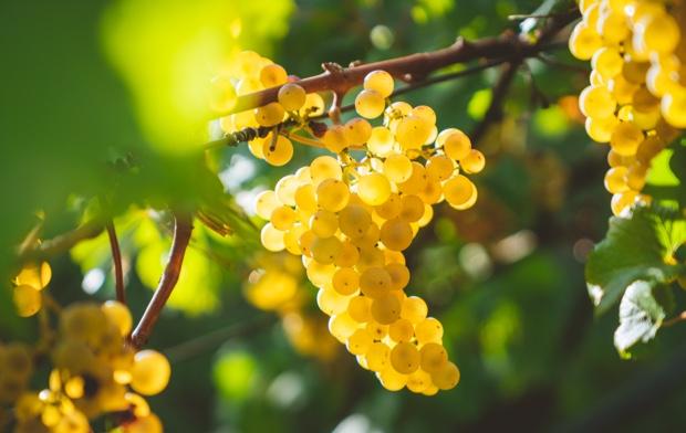 Variedad de uva blanca en una plantación