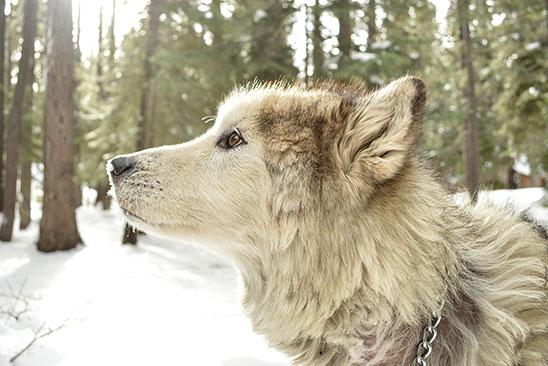 Esquiar con perros