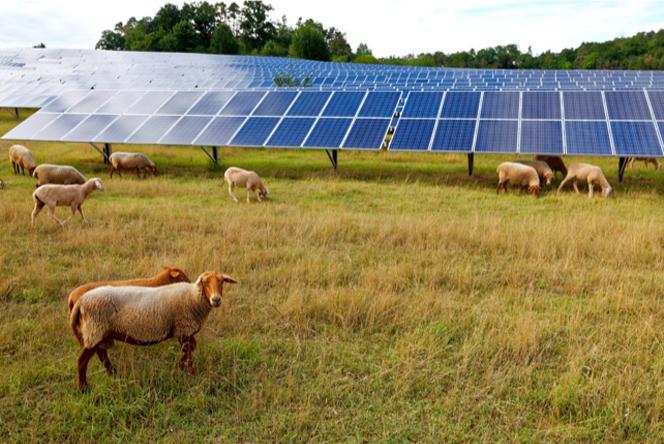 Ovejas pastando junto a un parque solar